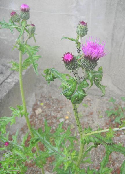 9月18日の誕生花