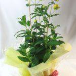 カルセオラリアの鉢植えギフト