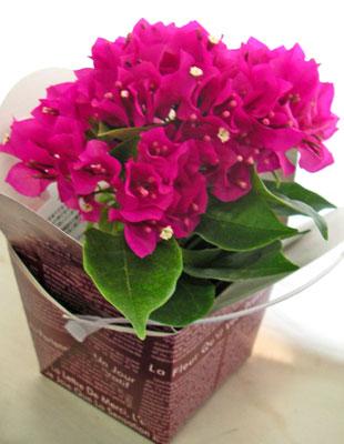 ブーゲンビリアの鉢植えギフト
