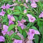 紫ブーゲンビリア
