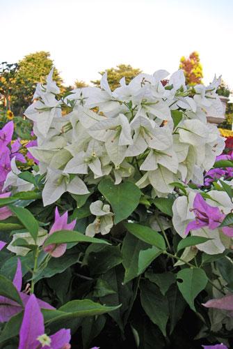 白花ブーゲンビリア
