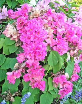 八重咲ブーゲンビリア