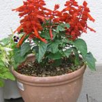 サルビアの鉢植え