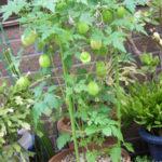 鉢植えのフウセンカズラ