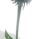 エキナセアの筒状花