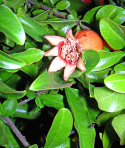 12月28日の誕生花