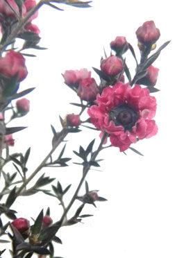 2月6日の誕生花
