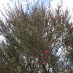 大木のギョリュウバイ