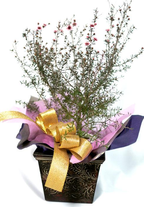 ギョリュウバイの鉢植えギフト