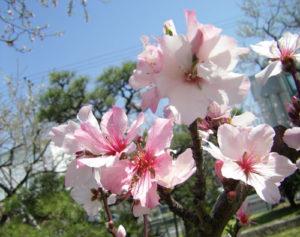 3月14日の誕生花-アーモンド