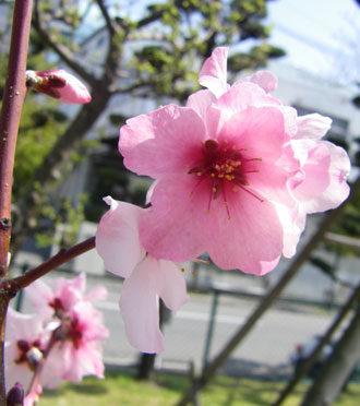 3月14日の誕生花