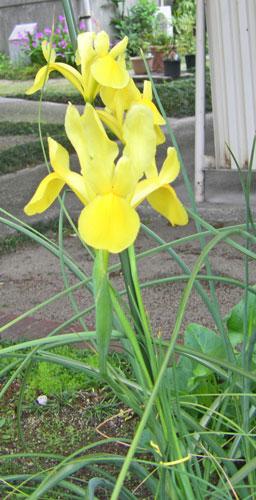 4月10日の誕生花