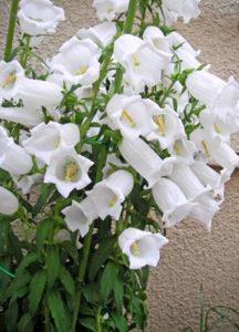 5月15日の誕生花