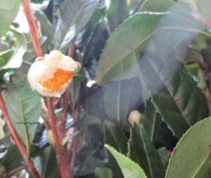 10月28日の誕生花