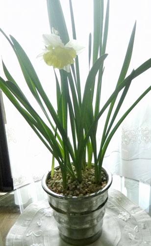 鉢植えのラッパスイセン