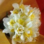 ラッパ水仙の花束