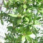 月桂樹の鉢植え