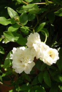 5月16日の誕生花