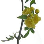 黄木香バラ