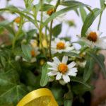 百日草の鉢植えギフト