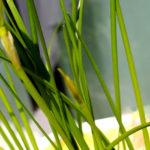 ゼフィランサスの花芽