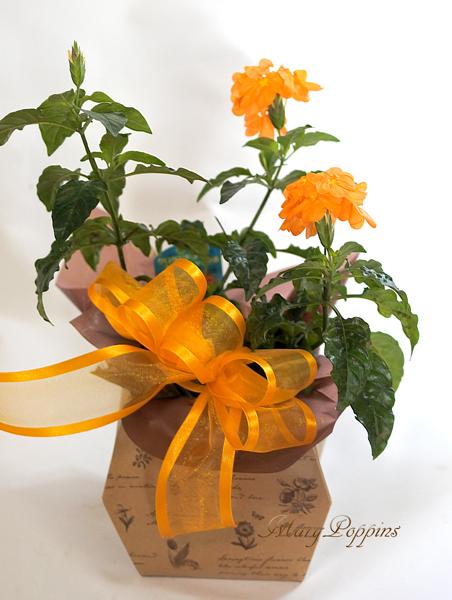 クロッサンドラの鉢植えギフト