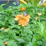 クロッサンドラとシジミ蝶