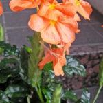 クロッサンドラの鉢植え