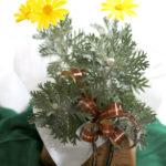 ユリオプスデージーの鉢植えギフト