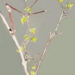 サンシュユの枝