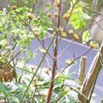 鉢植えの山サンシュユ