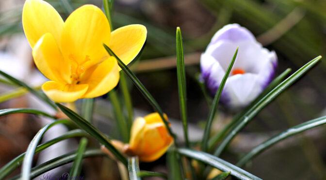 3月9日の誕生花