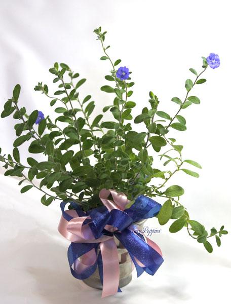 アメリカンブルーの鉢植えギフト
