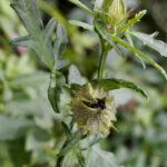 銀錢花(ギンセンカ)の種子