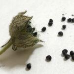 ギンセンカの種子