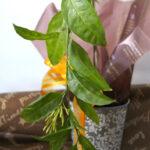 ヤコウボクの鉢植えギフト
