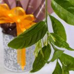 夜香木の鉢植えギフト